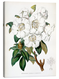 Miss Sowerby - Rhododendron Countess of Haddington