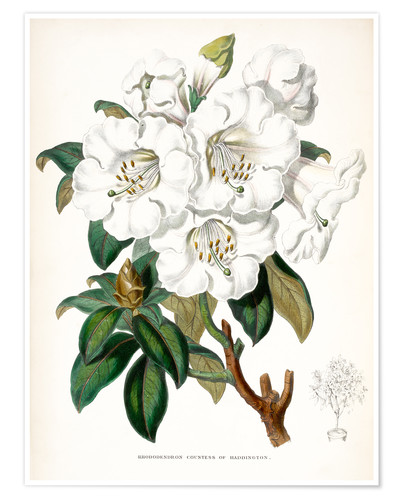 Premium poster Rhododendron Countess of Haddington