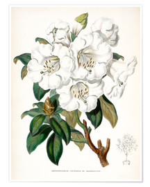 Premium poster  Rhododendron Countess of Haddington - Sowerby Collection