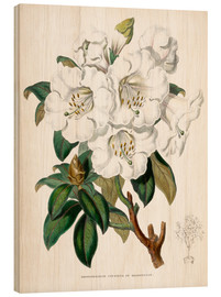 Wood  Rhododendron Countess of Haddington - Miss Sowerby