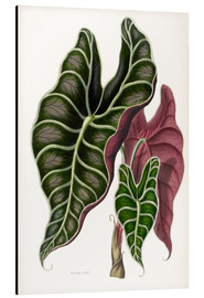 Aluminium print  Alocasia Lowii - Sowerby Collection