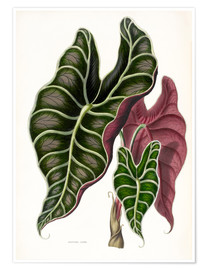 Premium poster  Alocasia Lowii - Sowerby Collection