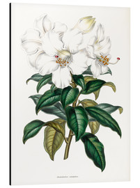 Aluminium print  Rhododendron calophyllum - Sowerby Collection