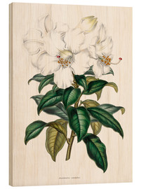 Wood print  Rhododendron calophyllum - Sowerby Collection