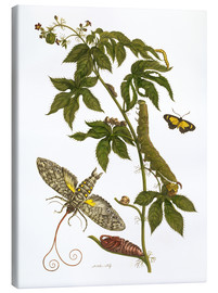 Canvas print  Caterpillars feeding on a plant - Maria Sibylla Merian