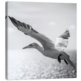 Canvas print  Gannets on Helgoland - Sebastian Rost