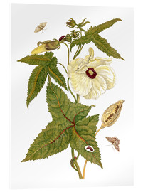 Acrylic glass  musk plant with lepidoptera metamorphosis - Maria Sibylla Merian