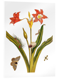 Acrylic glass  lily with lepidoptera metamorphosis - Maria Sibylla Merian
