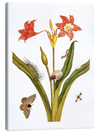 Canvas print  lily with lepidoptera metamorphosis - Maria Sibylla Merian