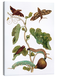 Canvas print  fig tree with lepidoptera metamorphosis - Maria Sibylla Merian