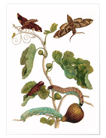 Premium poster  fig tree with lepidoptera metamorphosis - Maria Sibylla Merian