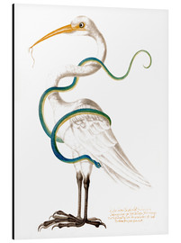 Aluminium print  Heron encircled by a snake, with a worm in his bill - Maria Sibylla Merian
