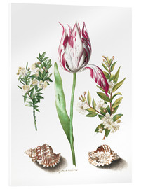 Acrylic glass  Tulip with two myrtle branches and two shells - Maria Sibylla Merian