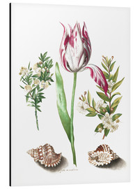 Alu-Dibond  Tulip with two myrtle branches and two shells - Maria Sibylla Merian