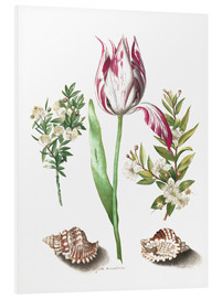 Foam board print  Tulip with two myrtle branches and two shells - Maria Sibylla Merian