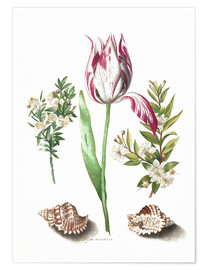 Premium poster  Tulip with two myrtle branches and two shells - Maria Sibylla Merian