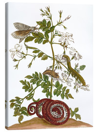 Canvas print  jasmine with snake and lepidoptera metamorphosis - Maria Sibylla Merian