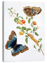 Canvas print  Butterfly - Maria Sibylla Merian