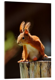 Acrylic print  Red squirrel with hazelnut - Uwe Fuchs