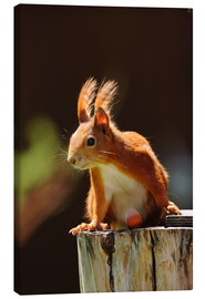 Canvas print  Red squirrel with hazelnut - Uwe Fuchs