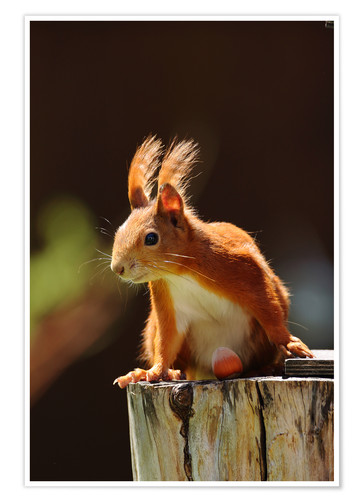 Premium poster Red squirrel with hazelnut