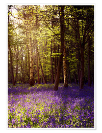 Poster Sunny bluebell wood