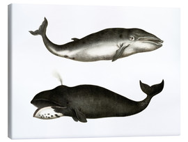 Canvas print  Fin Whale - German School