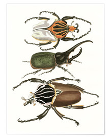Premium poster  Large and rare beetles - German School