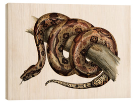 Wood print  Boa constrictor - German School