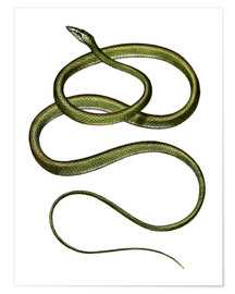 Premium poster  Long-nosed Tree Snake - German School