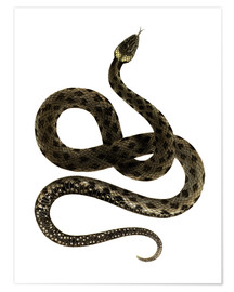 Premium poster  European Grass Snake - German School