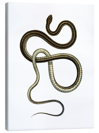 Canvas print  Eastern Ribbonsnake - German School