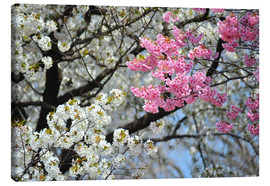 Canvas print  White and pink cherry blossoms - HADYPHOTO