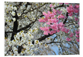 Foam board print  White and pink cherry blossoms - HADYPHOTO