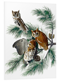 Foam board print  Three owls - John James Audubon