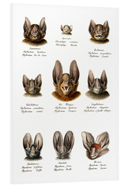 Foam board print  Different Kinds Of Bats - Karl Joseph Brodtmann