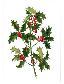 Premium poster European holly