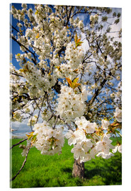 Acrylic print  Cherry blossoms in spring - Steffen Gierok