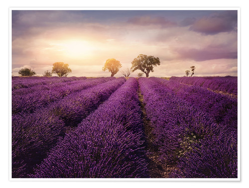 Premium poster Lavender field at sunset, Provence