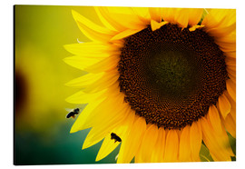 Aluminium print  Two bees in sunflower