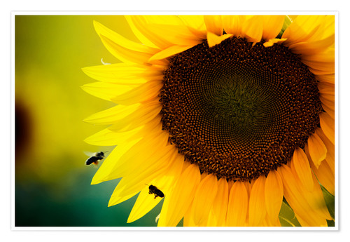 Premium poster Two bees in sunflower