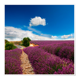 Premium poster  Beautiful lavender field