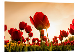 Acrylic print  Red poppies