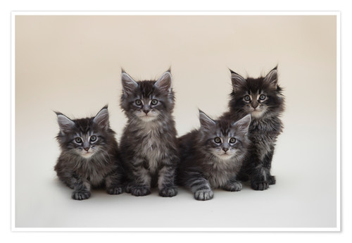 Premium poster Maine Coon Kittens 2