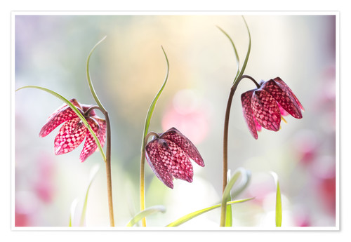 Premium poster Snakes head fritillary