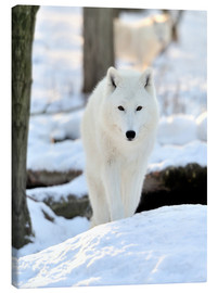 Canvas  Beautiful white wolf in winter