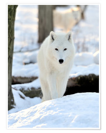 Premium poster  Beautiful white wolf in the winter