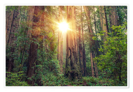 Premium poster  Redwood Forest in Northern California