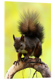 Acrylic print  Squirrel on a branch - Uwe Fuchs
