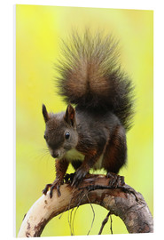 Foam board print  Squirrel on a branch - Uwe Fuchs